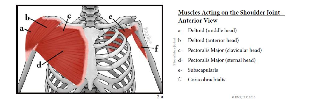 Muscles Acting on the Shoulder Joint - Front and Back of Card